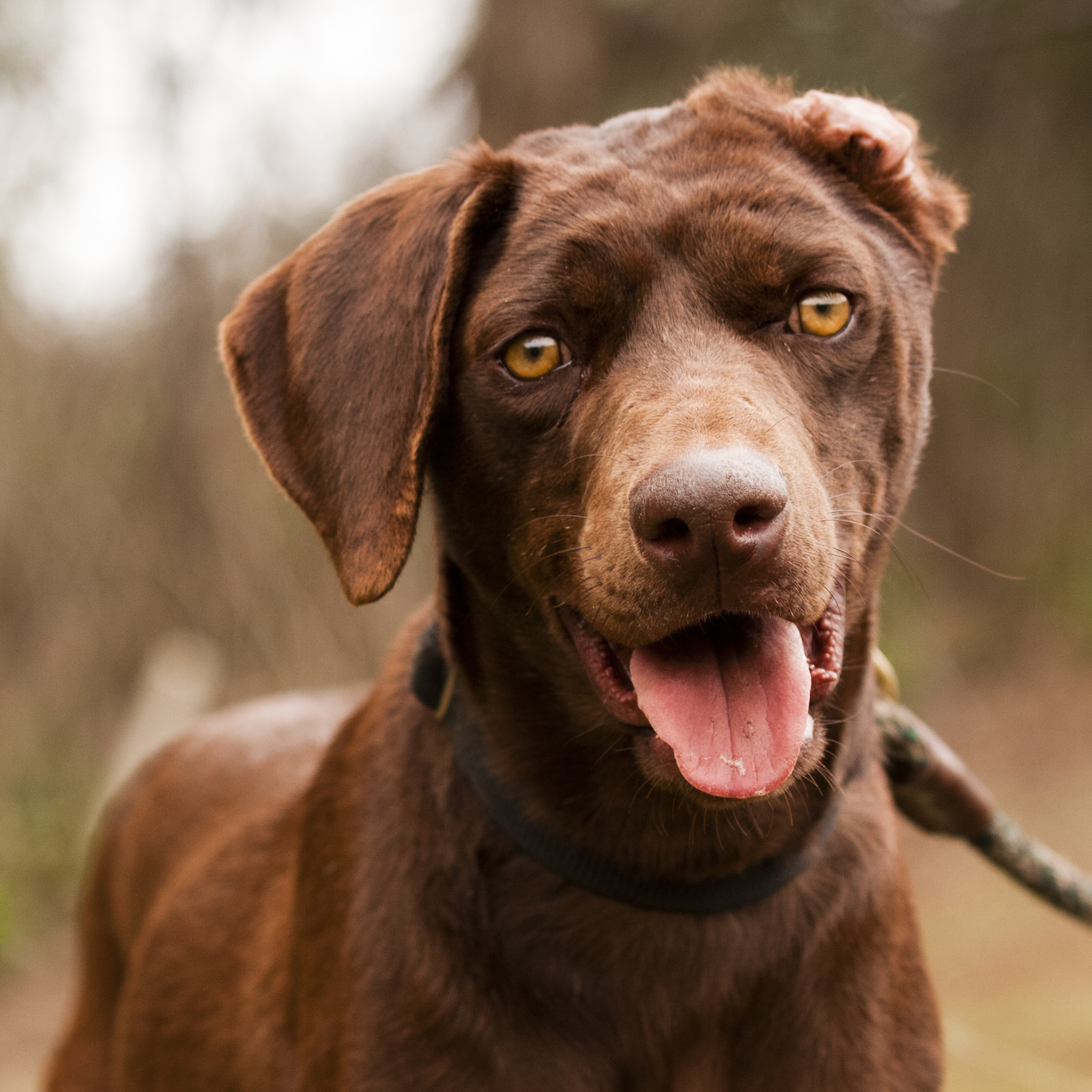What the heck IS a Chesapeake Bay Retriever Click here to find out